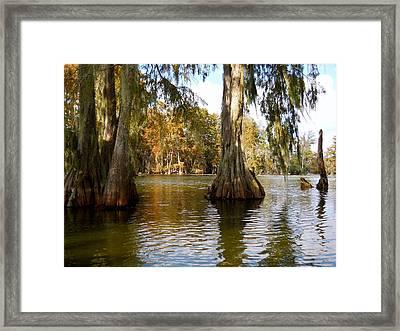 Swamp - Cypress Trees Framed Print