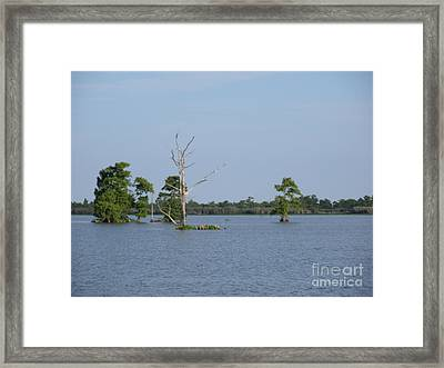 Framed Print featuring the photograph Swamp Cypress Trees by Joseph Baril