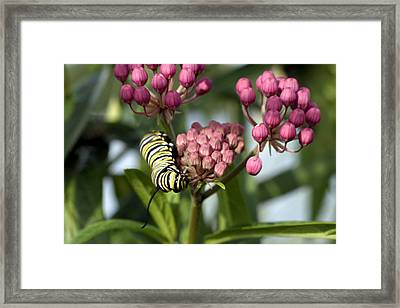 Swamp Milkweed And Monarch Butterfly Caterpiller  Framed Print by Gene Walls