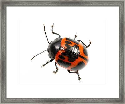 Swamp Milkweed Beetle Framed Print by JP Lawrence