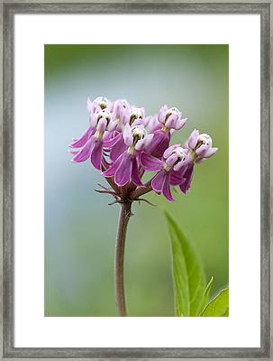Swamp Milkweed Framed Print