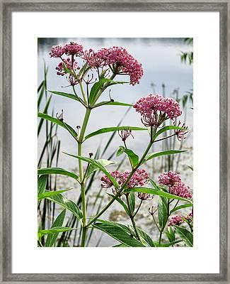 Swamp Milkweed - Wildflower Framed Print by Patricia Januszkiewicz