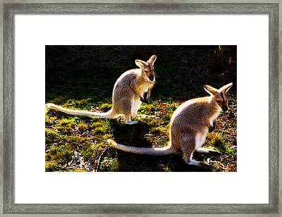 Red-necked Wallabies Framed Print