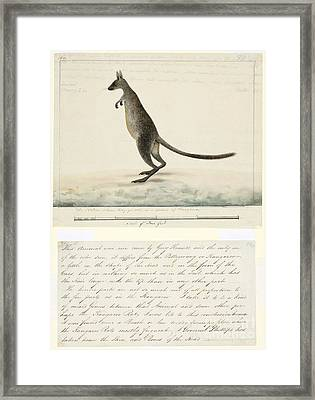 Swamp Wallaby, 18th Century Framed Print by Natural History Museum, London