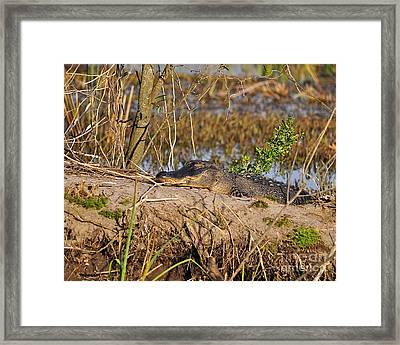 Swampland Snoozing Framed Print