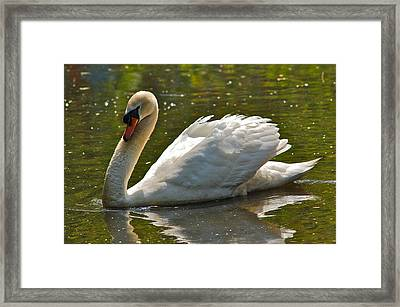Swan 1 Framed Print by Greg Vizzi