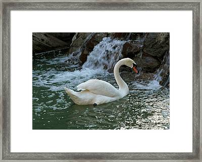 Swan A Swimming Framed Print by Michele Myers