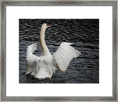 Swan Airing Out Wings 2 Framed Print