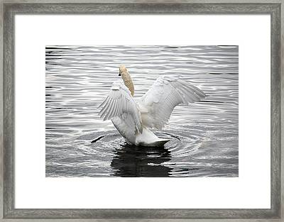 Swan Airing Out Wings 3 Framed Print