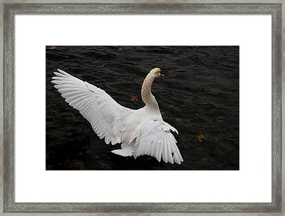 Swan Airing Out Wings Framed Print