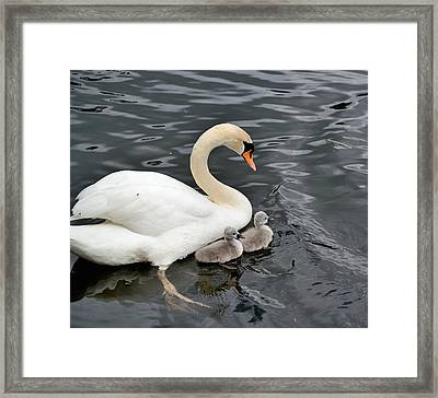 Swan And Cygnets Framed Print