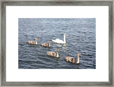 Framed Print featuring the photograph Swan And His Ducklings by John Telfer