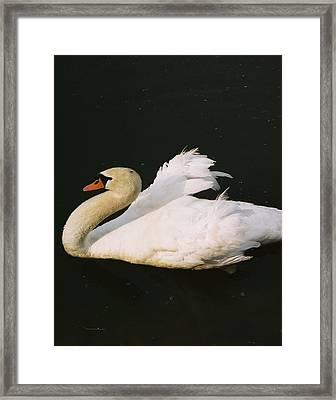 Swan At Rest Wil 115 Framed Print