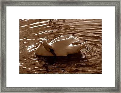 Swan By The Lake  Framed Print