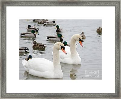 Swan Couple Framed Print
