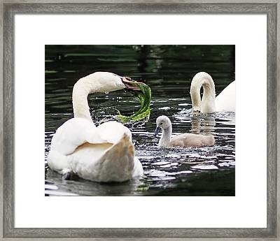 Swan Family Meal Framed Print by Rona Black