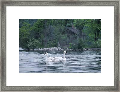 Swan Family Outing Framed Print