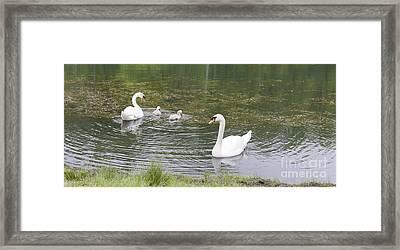 Swan Family Framed Print by Teresa Mucha