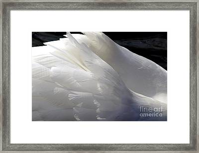 Swan Feathers Framed Print