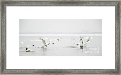 Swan Fight Framed Print