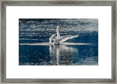 Swan Glory Framed Print