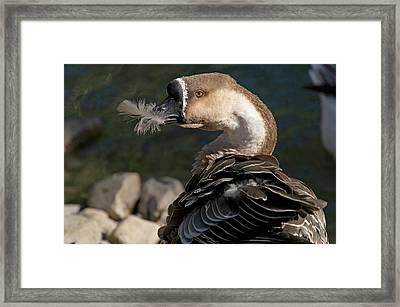 Swan Goose (anser Cygnoides Framed Print