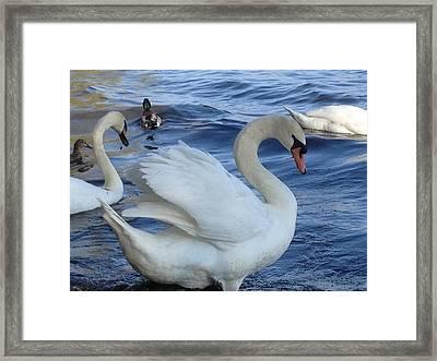 Swan Grace Framed Print