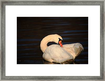 Swan Grooming Framed Print