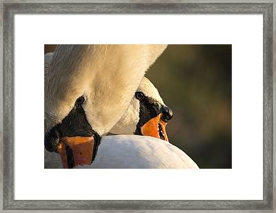 Swan Heads Framed Print