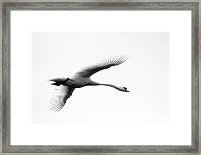 Swan In Flight Black And White Framed Print by Diane Rada