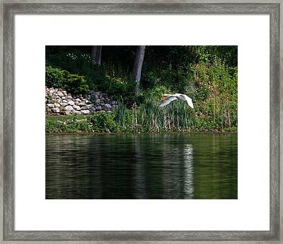 Framed Print featuring the photograph Swan In Flight by Eleanor Abramson