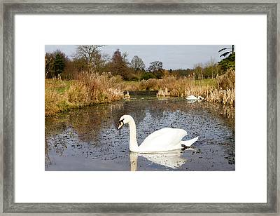 Swan In River In An  English Countryside Scene On A Cold Winter  Framed Print by Fizzy Image