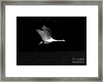 Swan In The Night Framed Print
