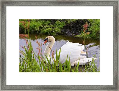 Swan In Water In Autumn Framed Print