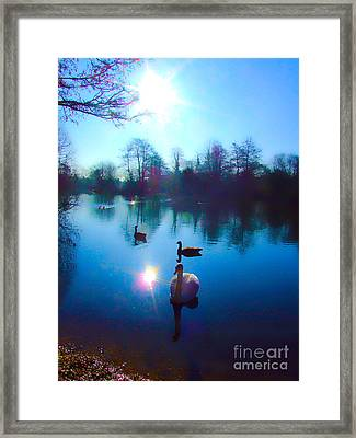 Swan Lake Framed Print by Andrew Middleton