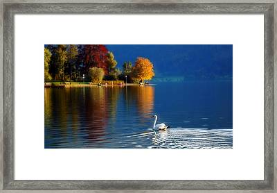 Beautiful Autumn Swan At Lake Schiliersee Germany  Framed Print