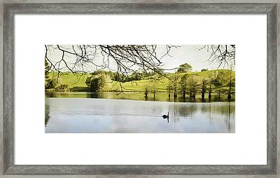 Swan Framed Print by Les Cunliffe