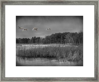 Swan Migration Framed Print by Thomas Young