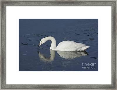 Swan On Frozen Lake Framed Print