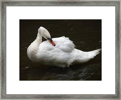 Swan One Framed Print