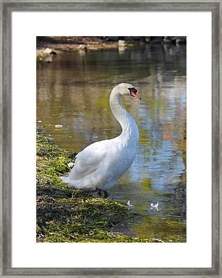 Swan Portrait Framed Print