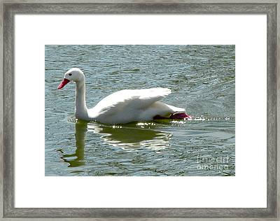 Swan Reflection Framed Print by Terry Weaver