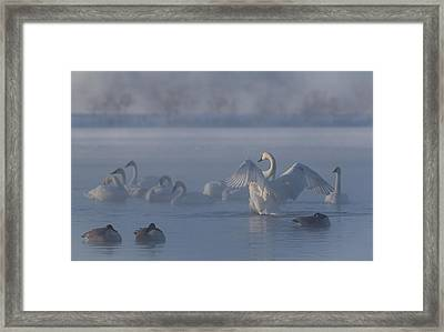 Framed Print featuring the photograph Swan Showing Off by Patti Deters