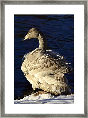 Swan Sits And Looks Out Over The Lake Framed Print by Tommytechno Sweden