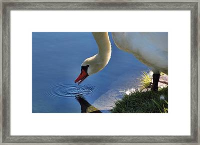 Framed Print featuring the photograph Swan Song by Cathy Donohoue