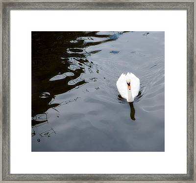 Swan Song Framed Print by Rebecca Cozart