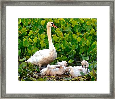Swan Song Framed Print by Frozen in Time Fine Art Photography