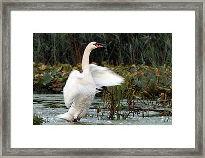 Swan Stretch Framed Print by Arun Dev