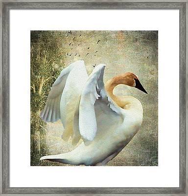 Swan - Summer Home Framed Print