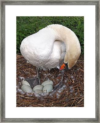 Swan Watching Over The Eggs Framed Print